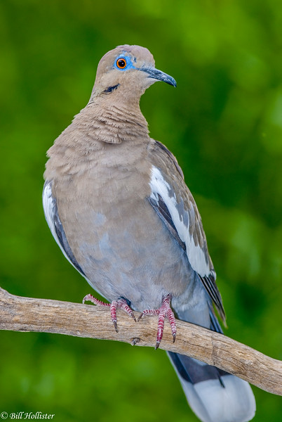 Blue-necked dove 5