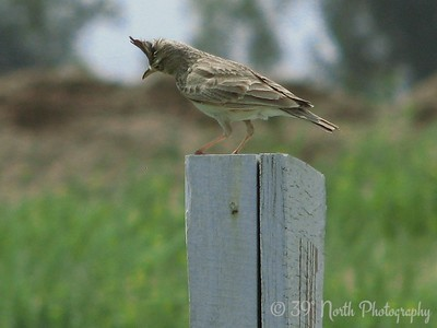 Crested Lark Kirkuk, Iraq