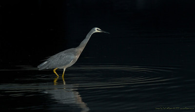 Heron stalking at dawn