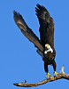 Bald Eagle, St. Petersburg, Florida