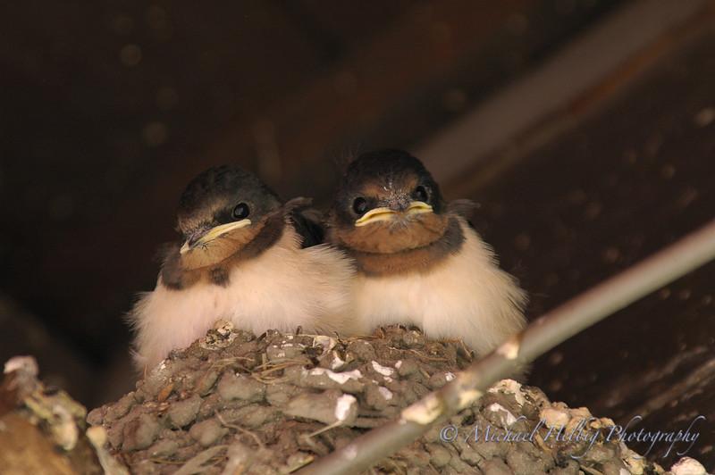 Baby Swallows - Hiroshima