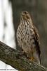Sharp-shinned hawk<br /> Fairfax County, Virginia<br /> January 2009