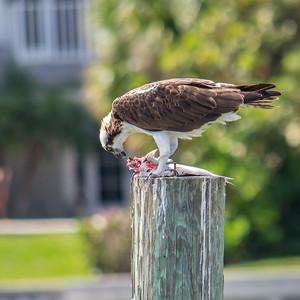Osprey enjoying lunch