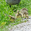 Gosling March