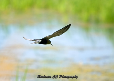 Black Tern in Iroquois National Refuge
