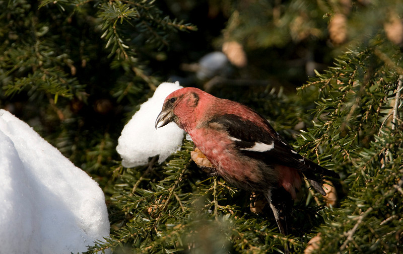 White-winged Crossbill - Monclova, OH - January 2009