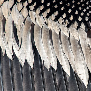 Close-up of anhinga wing feathers