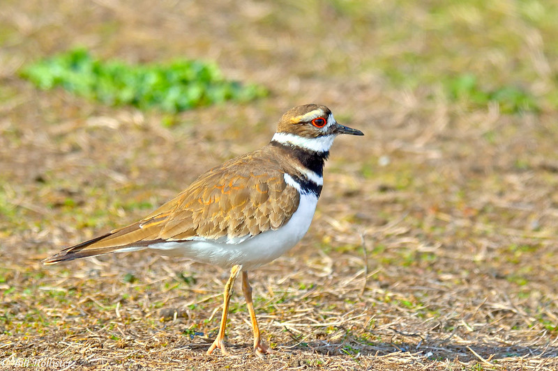 Kildeer at Colusa #3 2-2012-2
