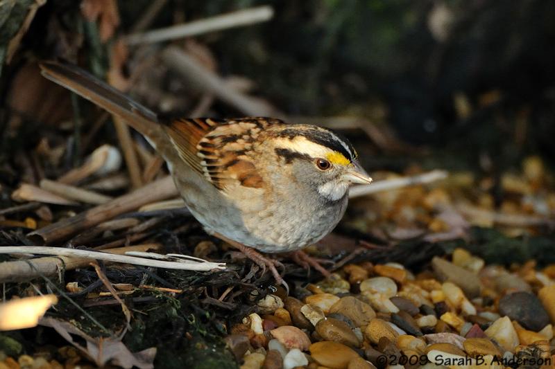 White-throated sparrow<br /> Fairfax County, Virginia<br /> February 2009
