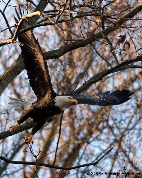 Bald Eagle takeoff<br /> near Conowingo Dam<br /> Susquehanna River, Maryland<br /> December 2008