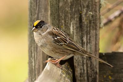 Golden Crowned Sparrow - Baskett Slough Wildlife Refuge, Oregon 2016
