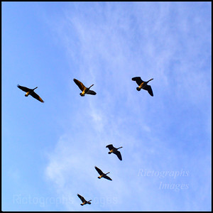 Geese Flying South