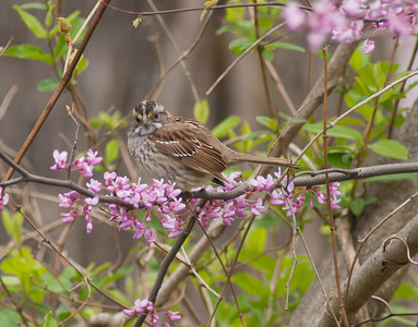 White Throated Sparrow (Tan Lined) poses in the red bud.  Some of these have very distinct yellow eyebrow paint.