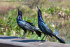 grackles<br /> Quiscali quiscula