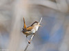 Marsh Wren at Shollenberger 4-07-#5-crop