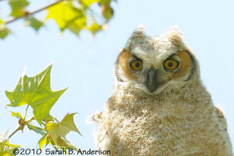 Great-horned owlet<br /> Prince William County, Virginia<br /> <br /> April 2010