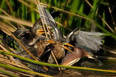 Green Heron feeding frenzy