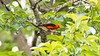 Male Scarlet Tanager in Early June