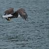 Bald Eagles, Coeur d'Alene Lake, ID