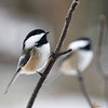 """  Two Chickadees for the Price of One """