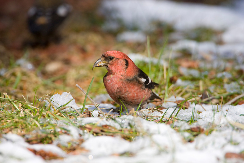 Crossbill Mania Continues! - February 2009