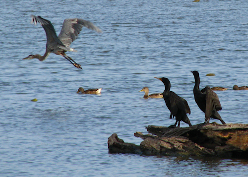 A great blue heron (Ardea herodias) soaring by two double-crested cormorants (Phalacrocorax auritus) perched on a log (20080727_10131)
