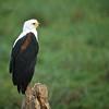 African Fish Eagle (Haliaeetus vocifer)<br /> Amboseli National Park, Kenya<br /> IUCN Status: Least Concern