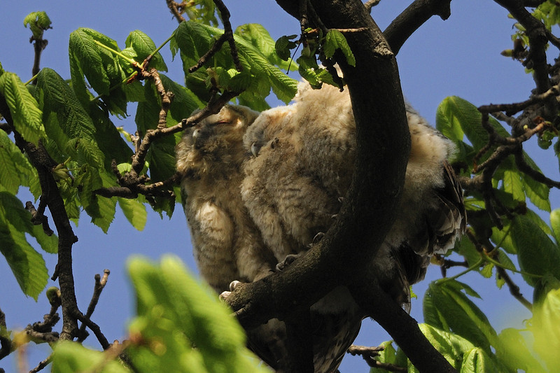 Tawny owlets<br /> Hyde Park, London, England