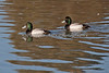 I always get stuck on these - Greater Scaup or Lesser Scaup?    (4/12/2014)