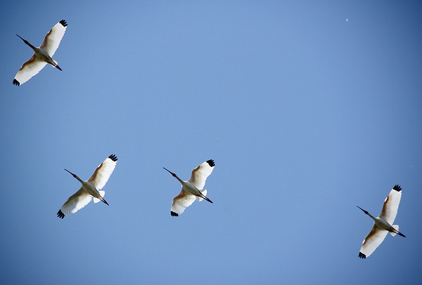 White ibises (Eudocimus albus) flying overhead (2009_05_17_019243)