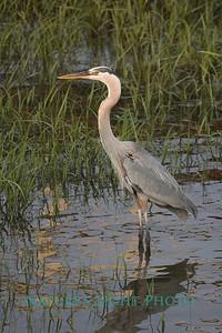 Blue Heron, Dunedin, FL