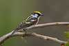 Chestnut-sided Warbler - May 2014