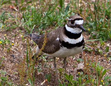 killdeer (24 of 38)