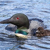 Loon With Chick  1