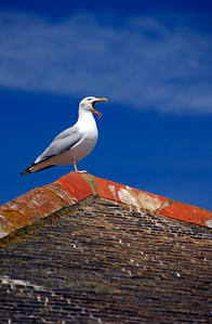 Seagull squawking on rooftop - Mousehole, England