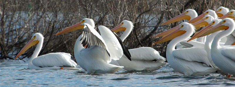 White Pelicans, Clear Lake, CA
