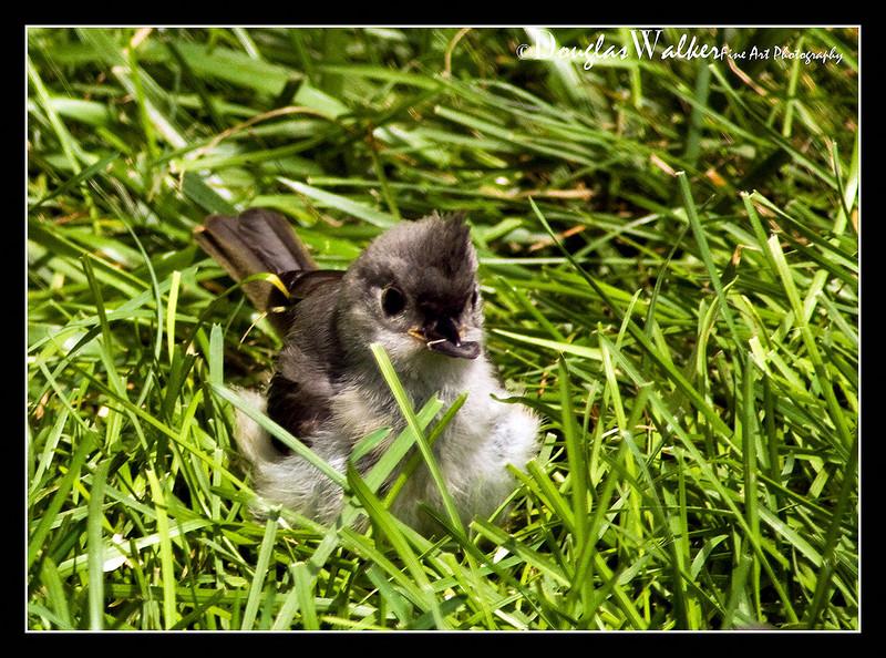 Tufted Titmouse<br /> (Baeolophus bicolor)