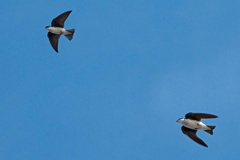 Tree Swallows, Sandy Ridge Reservation, 4/2/2010.