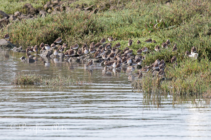 No one wants to wake up this morning!  A flock of Sandpipers snooze at the shoreline.  They look like little rocks.    (4/12/2014)