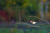 Yellow-rumped Warbler, near Beaver Marsh, 9/25/09.