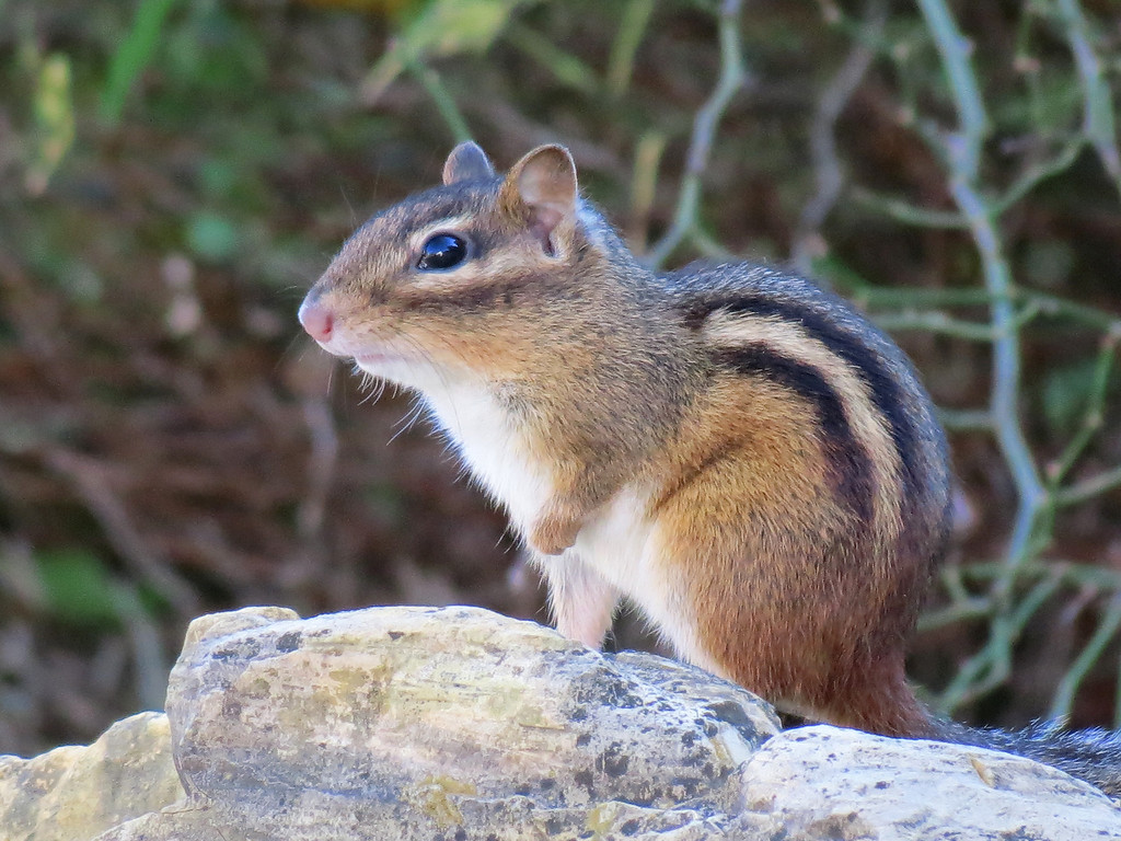A little ground squirrel in the rocks in front of the house.