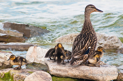 Female Mallard with young ducklings Female Mallard with young ducklings on the rocks in Lake Ontario