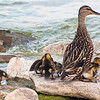Female Mallard with young ducklings<br /> Female Mallard with young ducklings on the rocks in Lake Ontario