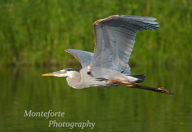 Great Blue Heron, Ardea herodias fying over Lake El Estero Monterey California