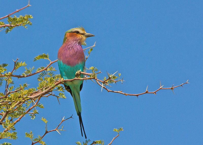 Lilac-breasted roller, Namibia 2005