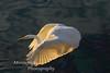 Great White Egret-Ardea alba-in flight, Monterey California