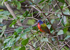 Painted Bunting, Loxahatchee National Wildlife Refuge, Florida