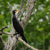 Perched Double-Crested Cormorant