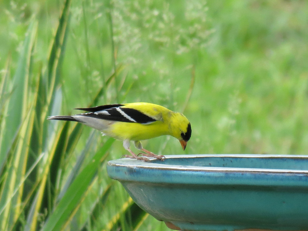 Yellow finch.