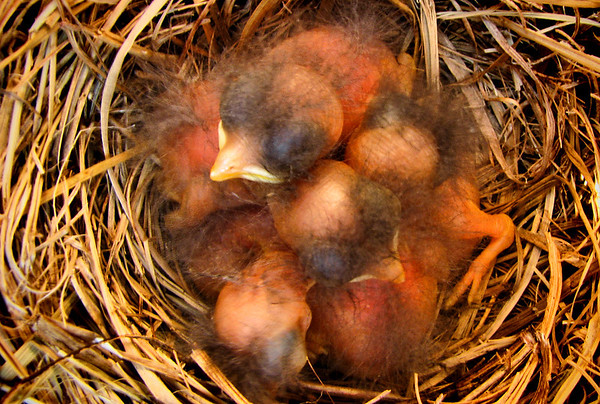 Five eastern bluebird (Sialia sialis) hatchlings in the nest (IMG_0799)